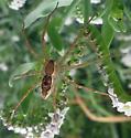 Spider - Tinus peregrinus