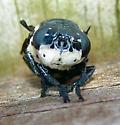 Cuterebra fontinella - Cuterebra