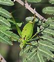 Katydid - Obolopteryx - female