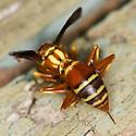 Paper Wasp - Polistes dorsalis - female