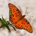 Unknown Butterfly - Agraulis vanillae