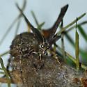 Douglas fir tussock moth - Orgyia pseudotsugata - male - female