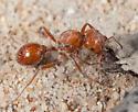 Pogonomyrmex subnitidus? - Pogonomyrmex subnitidus - female