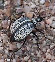 Spotted beetle - Cysteodemus armatus