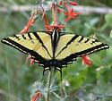 Two-tailed? - Papilio multicaudata