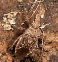 Scentless Plant Bug - Arhyssus scutatus