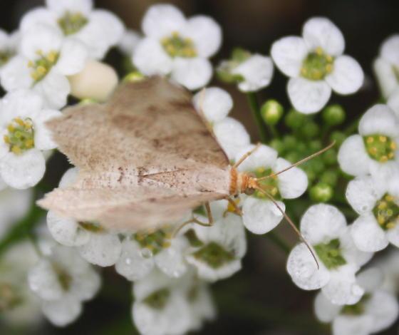moth - Macaria
