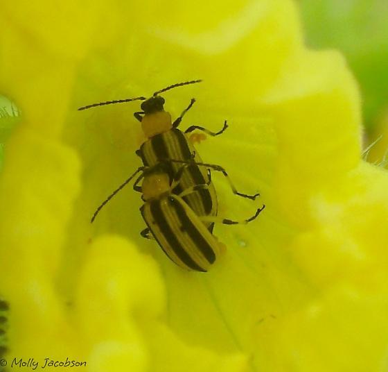cucumber beetle on cucumber - Acalymma vittatum - male - female