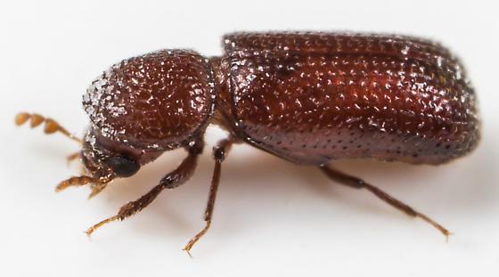 Beetle - Rhyzopertha dominica