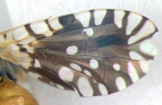 Tephritidae, wing - Euaresta bella - male