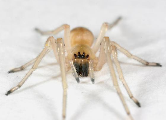Spider BG507 - Cheiracanthium