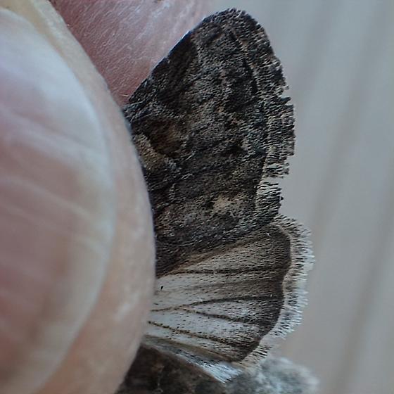 Noctuidae: Lacinipolia pensilis - Lacinipolia pensilis