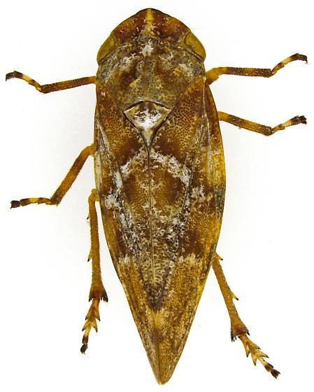 Aphrophora Subgenus Plesiommata? - Aphrophora
