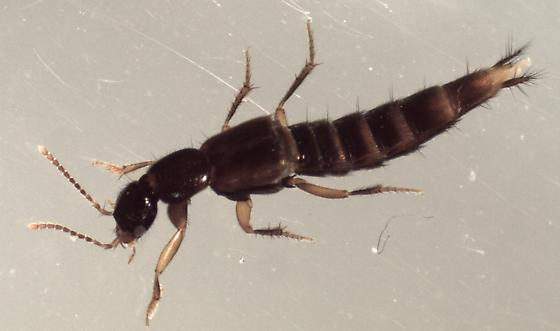 rove beetle extracted from bottomland forest soil using Berlese funnel - Erichsonius