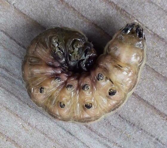 Noctuidae: Nephalodes minians? - Nephelodes minians