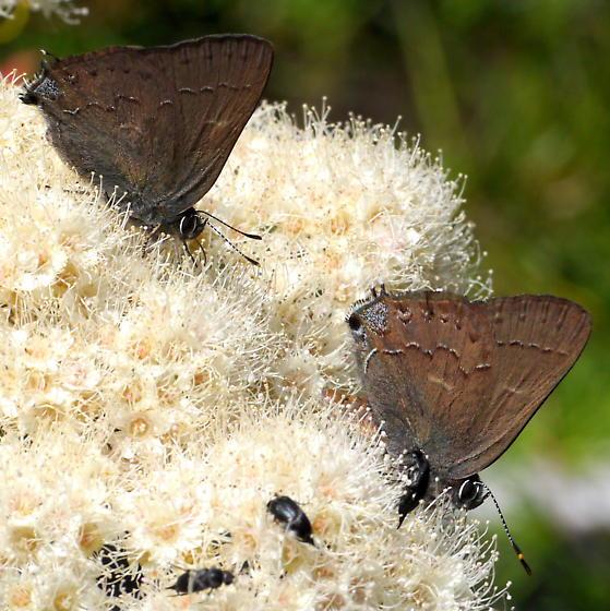 Brown/copper hairstreak - Thicket or Hedgerow Hairstreak? - Satyrium saepium