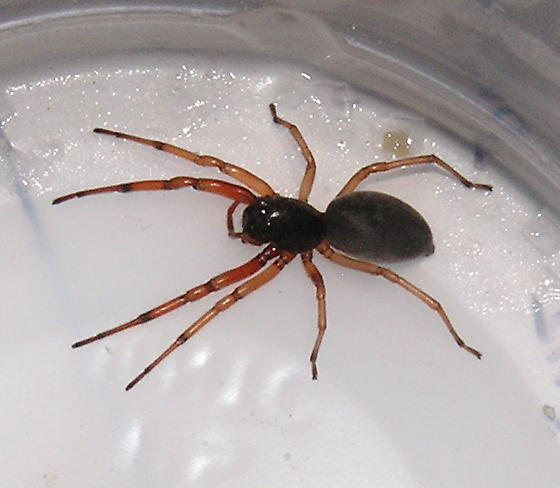 Unknown spider - red forelegs, black body - Trachelas