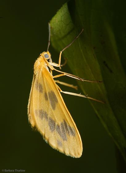 Beggar Moth - Eubaphe mendica