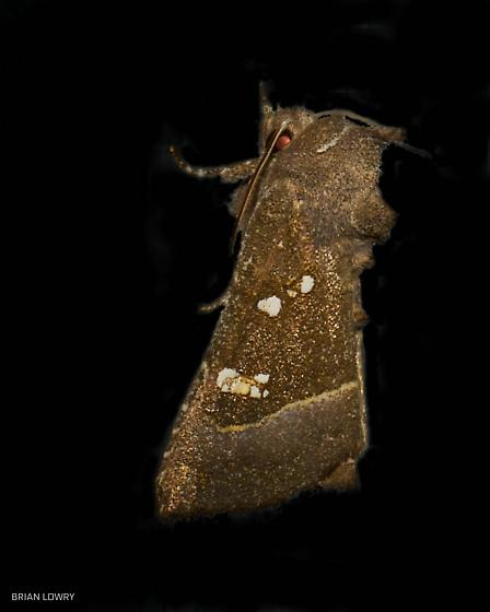 Brown moth white spots tufted head - Papaipema