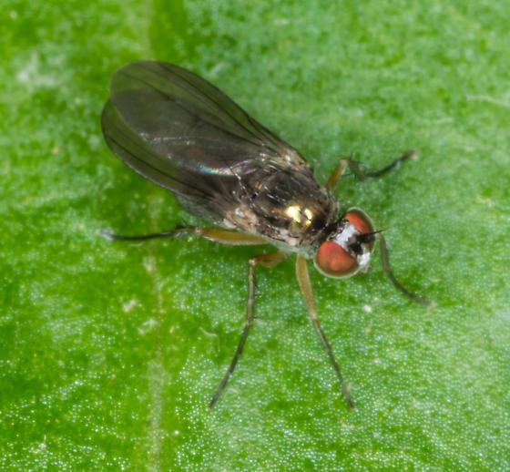 Dolichopodidae ? - Gymnopternus
