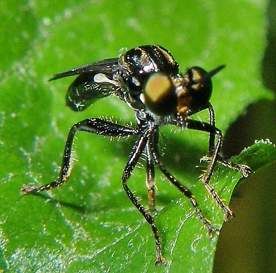 A fly ... - Eudioctria albius