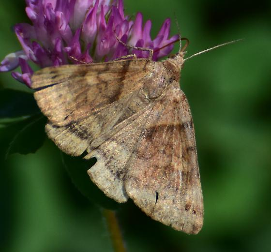 Is it a Variable fan-foot moth? - Caenurgina