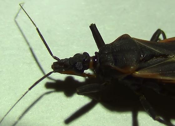 Bloodsucking Conenose Bug (mouthparts) - Triatoma rubida - male