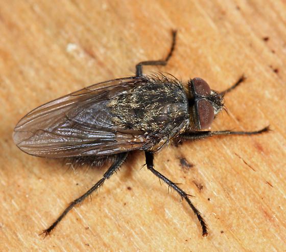 Cluster Fly - Pollenia vagabunda