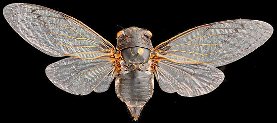 Cicada, female dorsal - Hadoa chiricahua - female