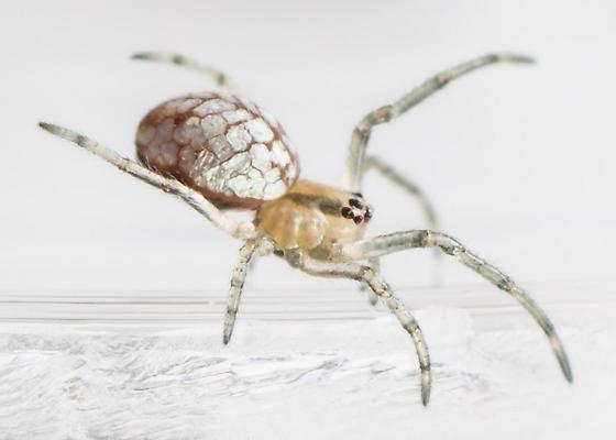 Spiderling ? - Tetragnatha