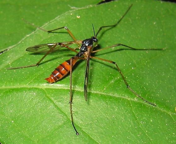 fly - Ptychoptera quadrifasciata - female