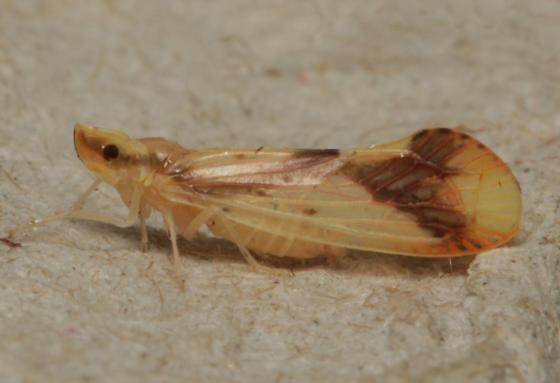 Derbidae - Otiocerus reaumurii