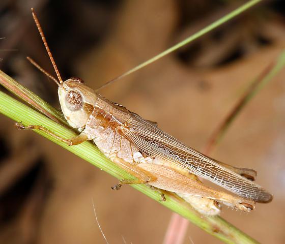 immature Acrididae - Orphulella pelidna - male
