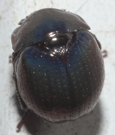 Round, dark beetle - Germarostes
