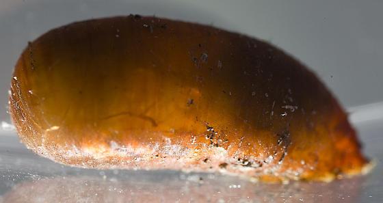 Syrphidae pupa - Scaeva pyrastri