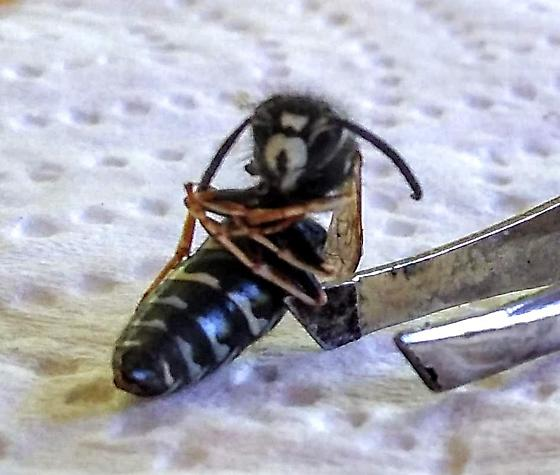 Wasp, Black and white striped abdomen with fibonacci sequence spacing.