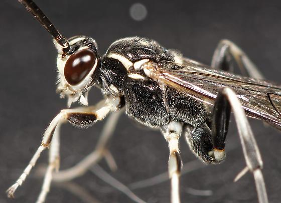 ichneumon - Cratichneumon sublatus - male