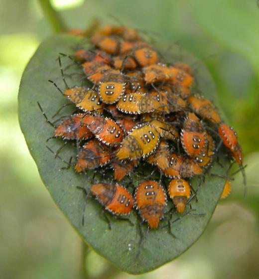 Bug gathering - Arvelius albopunctatus