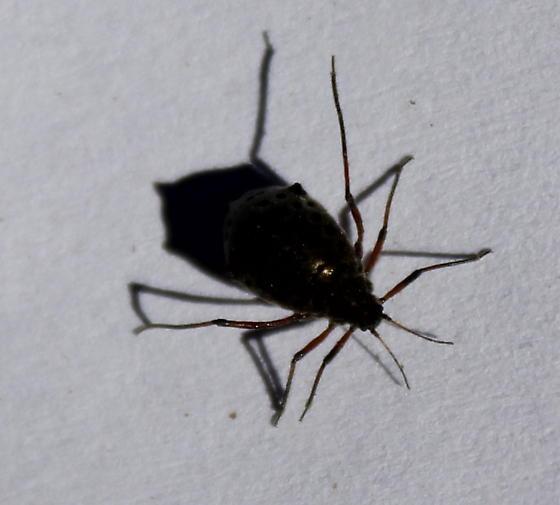 spotted bug - Tuberolachnus salignus