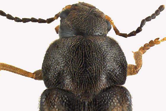 False Darkling Beetle - Prothalpia undata