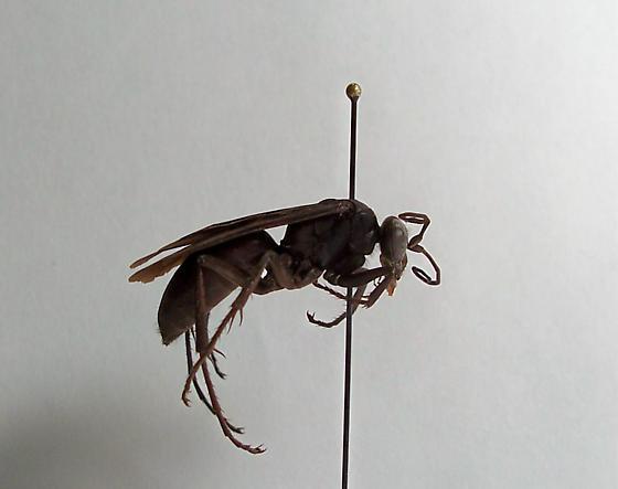 Anoplius lepidus atramentarius - Anoplius lepidus - female