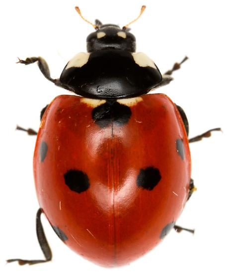 Seven-spotted Lady Beetle? - Coccinella septempunctata
