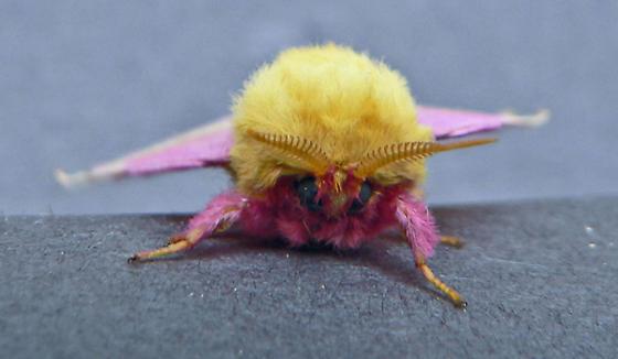 pink & yellow fuzzy moth - Dryocampa rubicunda