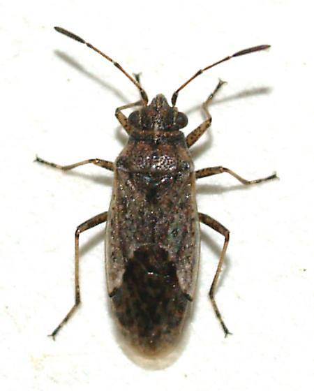 Seed bug? - Nysius