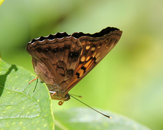Brown Butterfly - Asterocampa clyton