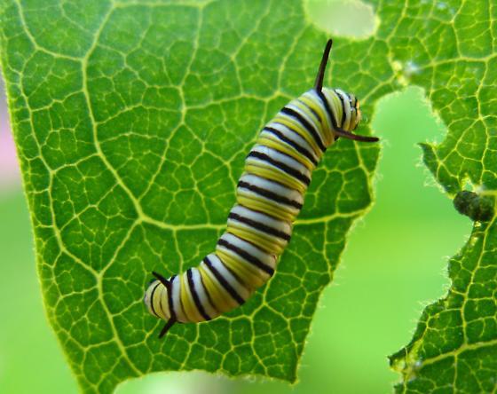 Early instar caterpillar  - Danaus plexippus