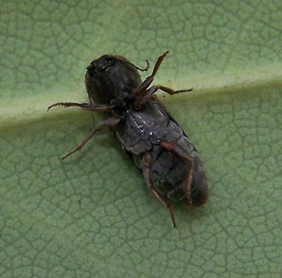 Cardiophorus robustus - female