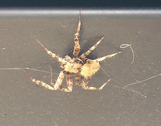 What kind of spider?