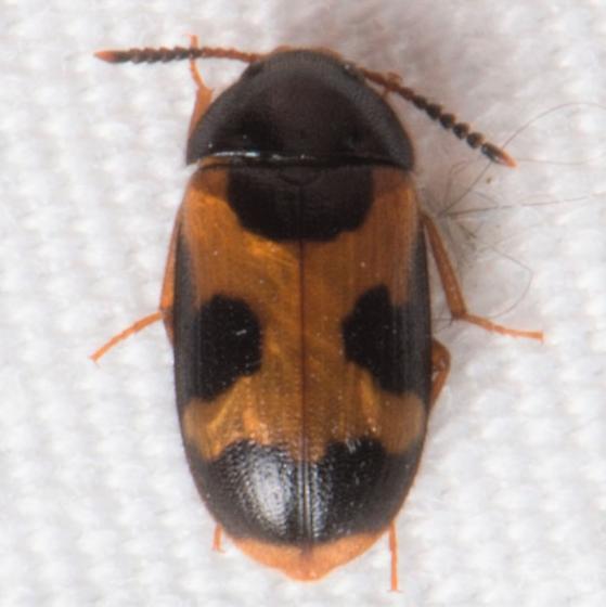 Mycetophagus punctatus? - Mycetophagus punctatus