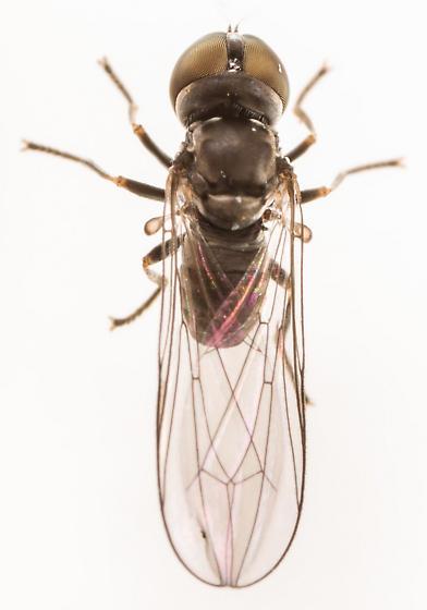 Big-headed Fly - Eudorylas